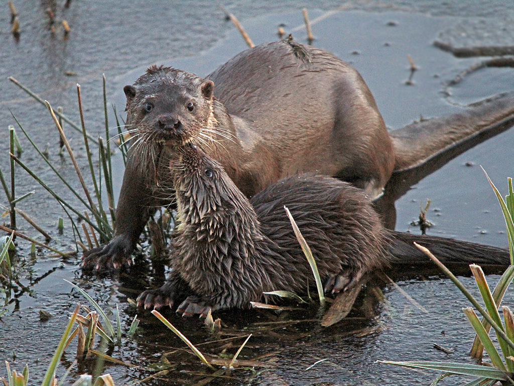 Otters at Tophill Low Nature Reserve